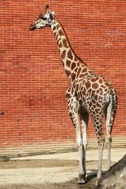 Přeprava žirafy - Iveco