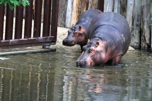 Zoo Dvůr Králové - převoz hrošic Ivecem